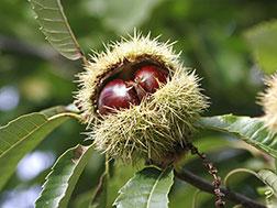 Каштан съедобный, или посевной - Castanea sativa, каштан фото