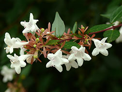 Абелия крупноцветковая - Abelia grandiflora, абелия фото