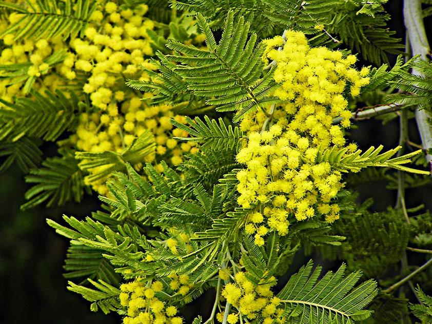 Акация серебристая, или мимоза - Acacia dealbata, акация фото