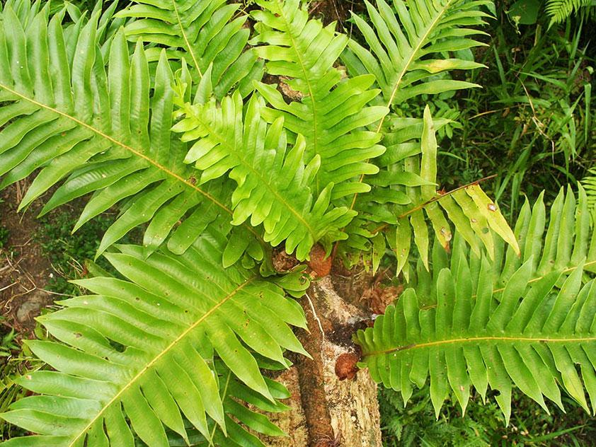 Аглаоморфа Мейнера - Aglaomorpha meyeniana, аглаоморфа фото