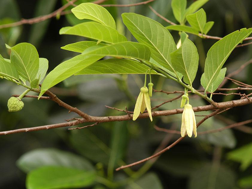 Аннона чешуйчатая, или Сахарное яблоко - Annona squamosa, аннона фото
