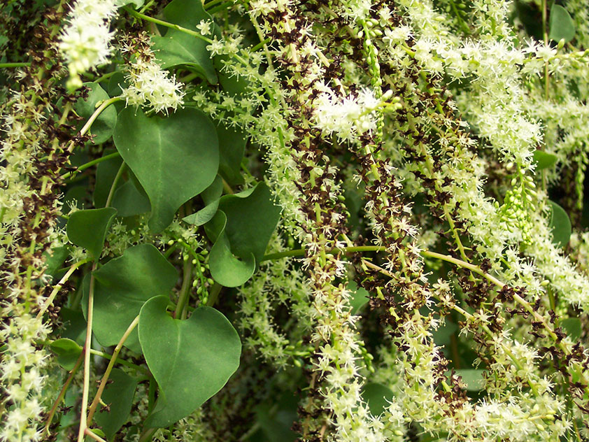 Анредера серцелистная - Anredera cordifolia, анредера фото