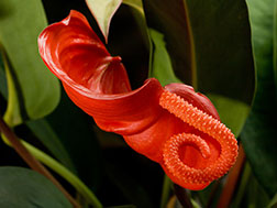 Антуриум Шерцера - Anthurium scherzerianum, антуриум фото