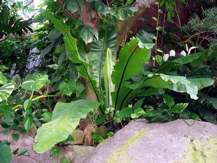 Асплениум гнездовой - Asplenium nidus, асплениум фото