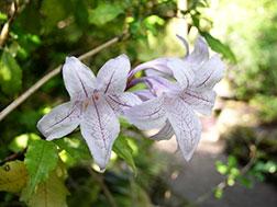 Азистазия прекрасная - Asystasia bella, азистазия фото