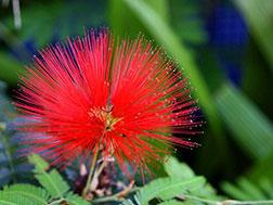 Экзотическое растение - Каллиандра - Calliandra, каллиандра фото