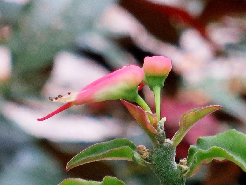 Педилантус титимолоидный - Pedilanthus tithymaloides, педилантус фото