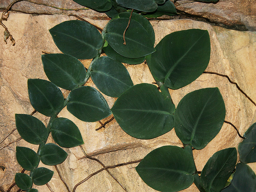 Рафидофора скрытостебельная - Rhaphidophora celatocaulis, рафидофора фото