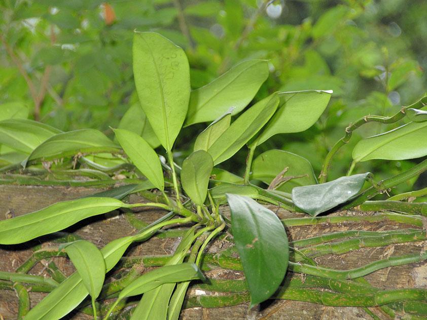Рафидофора гонконгская - Rhaphidophora hongkongen, рафидофора фото