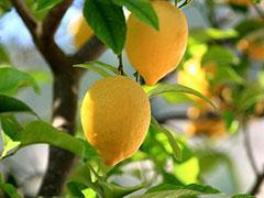 Комнатный лимон. Выращивание и уход.