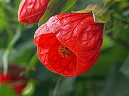 Комнатный клен - Abutilon hybridum, абутилон фото