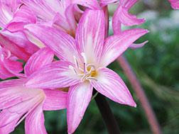 Амариллис белладонна, или Амариллис прекрасный - Amaryllis belladonna, амариллис фото
