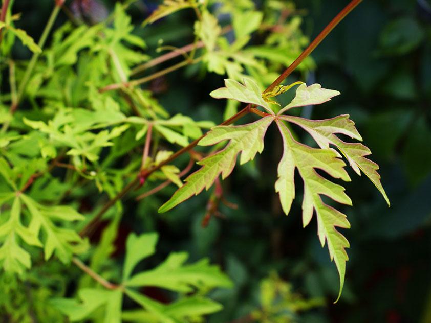 Виноградовник аконитолистный - Ampelopsis aconitifolia, виноградовник фото
