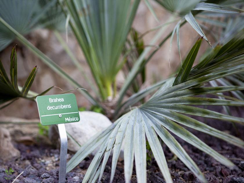 Брахея - комнатная пальма. Брахея фото.