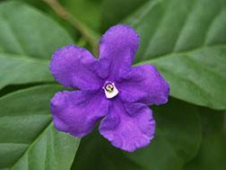 Брунфельсия чашевидная, или Францисцея - Brunfelsia calycina, брунфельсия фото