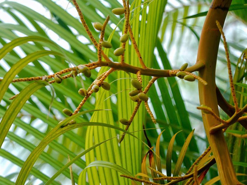 Хризалидокарпус желтоватый, или Арека желтеющая - Chrysalidocarpus lutescens, арека фото