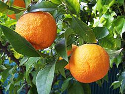 Комнатное растение - Померанец - Citrus bigaradia, померанец фото
