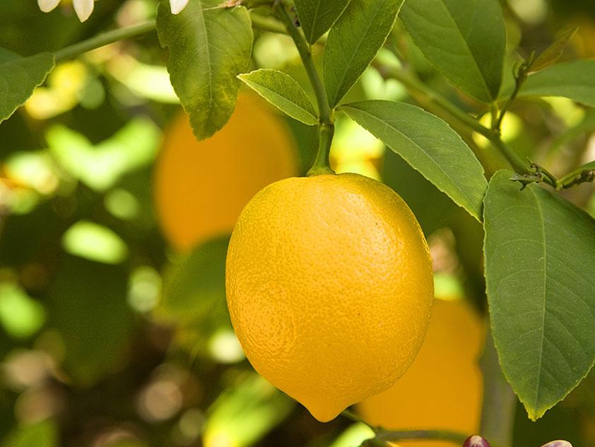 Комнатный лимон - Citrus limon, лимон фото