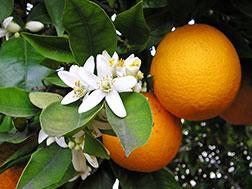 Комнатный апельсин - Citrus sinensis, апельсин фото