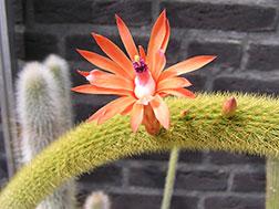 Кактус Клейстокактус - Cleistocactus, клейстокактус фото