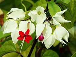 Клеродендрум Томсона - Clerodendron thomsoniae, клеродендрум фото