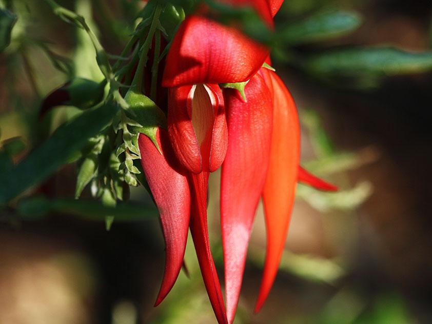 Клиантус пунцовый - Clianthus puniceus, клиантус фото