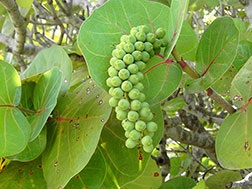 Кокколоба ягодоносная - Coccoloba unifera, кокколоба фото