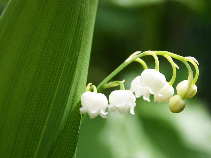 Ландыш майский - Convallaria majalis, ландыши фото