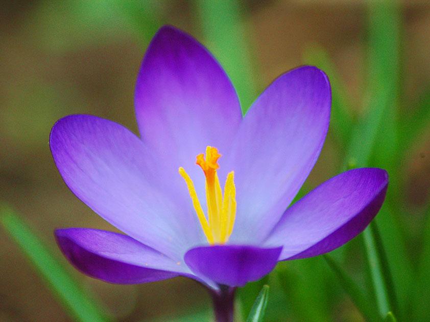 Шафран весенний - Crocus vernus
