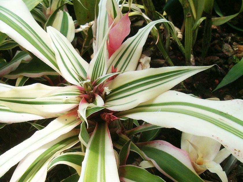 Криптантус бромелиевидный - Cryptanthus bromelioides, криптантус фото