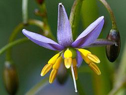 Дианелла голубая - Dianella caerulea, дианелла фото