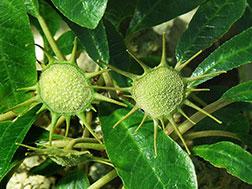 Дорстения вонючая - Dorstenia foetida, дорстения фото