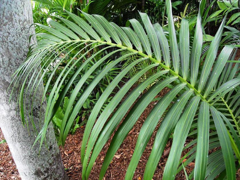 Кентия Бельмора, или Говея Бельмора - Howea belmoreana, кентия фото