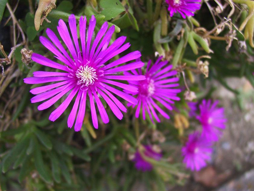 Лампрантус - комнатное растение. Лампрантус, Фото