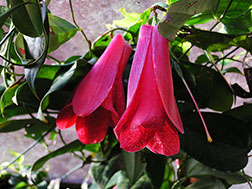 Лапагерия розовая - Lapageria rosea, лапагерия фото