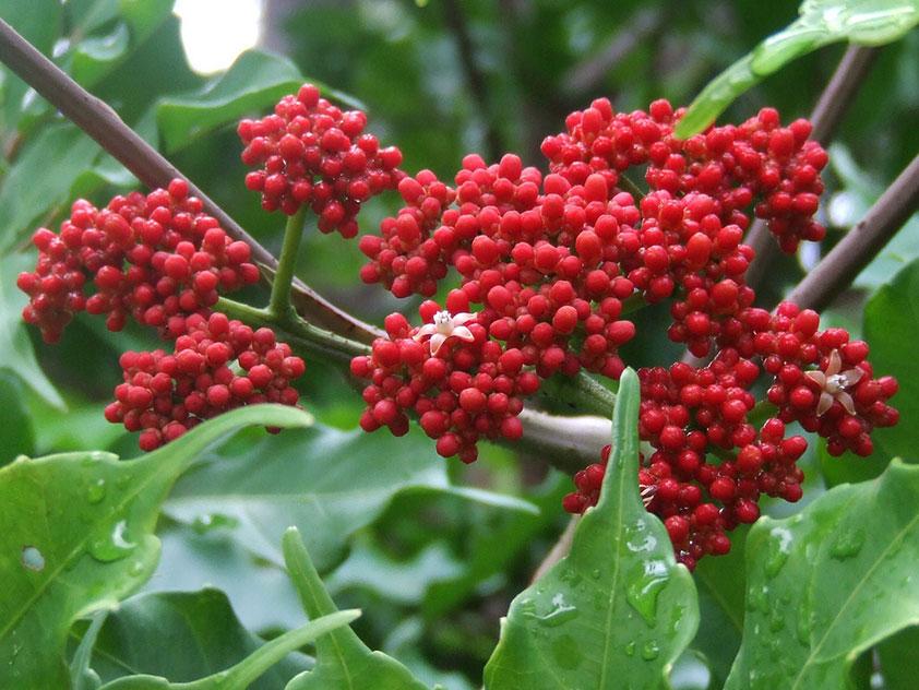 Леэя ярко-красная - Leea coccinea, леэя фото
