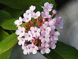 Лукулия крупноцветковая - Luculia grandiflora, лукулия фото
