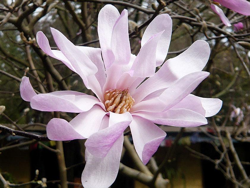 Магнолия звездчатая - Magnolia stellata, магнолия фото