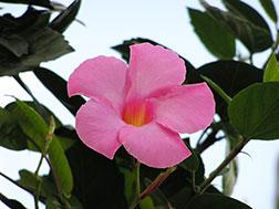 Мандевилла блестящая, или Дипладения блестящая - Mandevilla splendens, мандевилла фото