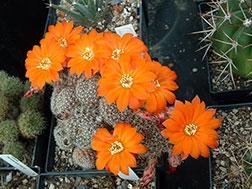 Медиолобивия золотистоцветковая - Mediolobivia aureiflora, медиолобивия фото