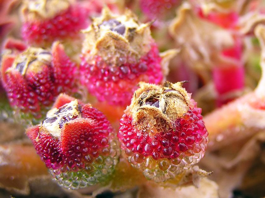 Мезембриантемум хрустальный - Mesembryanthemum crystallinum, мезембриантемум фото