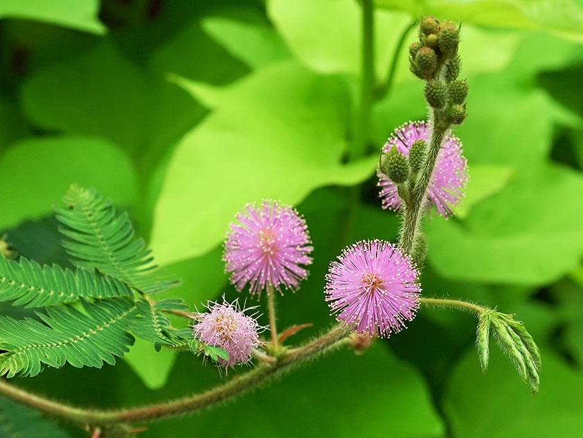 Мимоза стыдливая - Mimosa pudica, мимоза фото