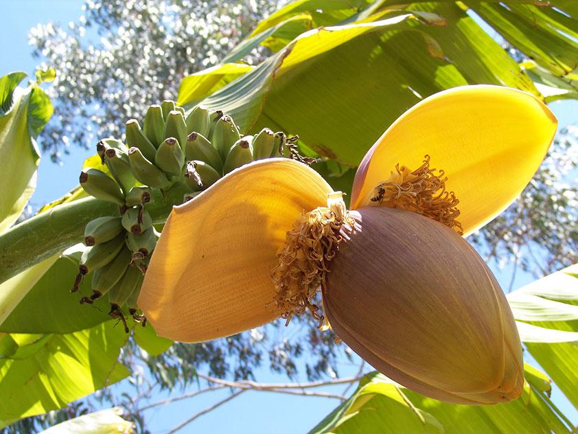 Комнатный банан - banan, банан фото