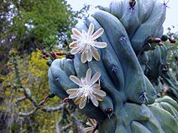 Миртиллокактус геометрический - Myrtillocactus geometrizans, миртиллокактус фото