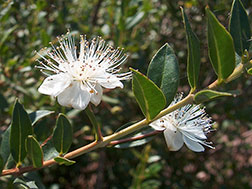 Мирт обыкновенный - Myrtus communis, мирт фото
