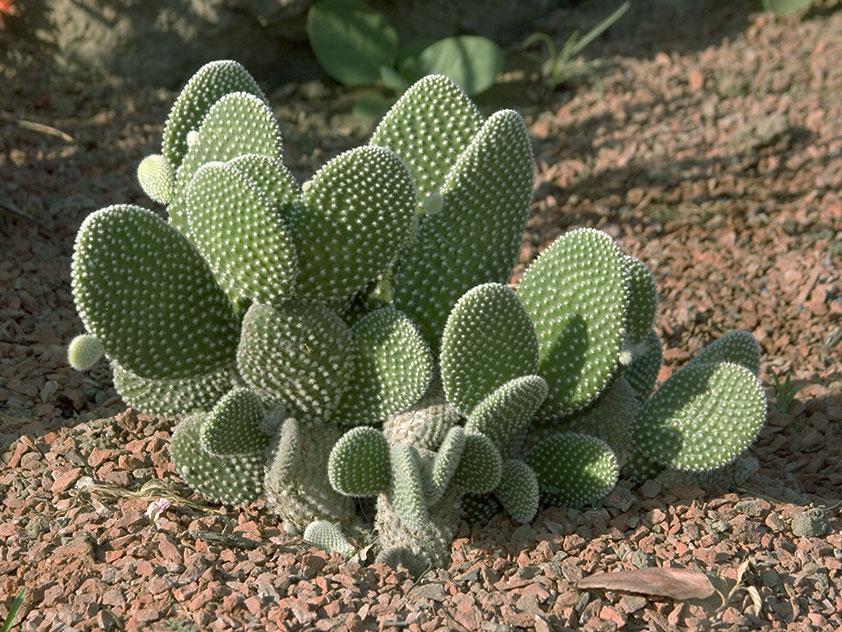 Опунция мелковолосистая - Opuntia microdasys, опунция фото