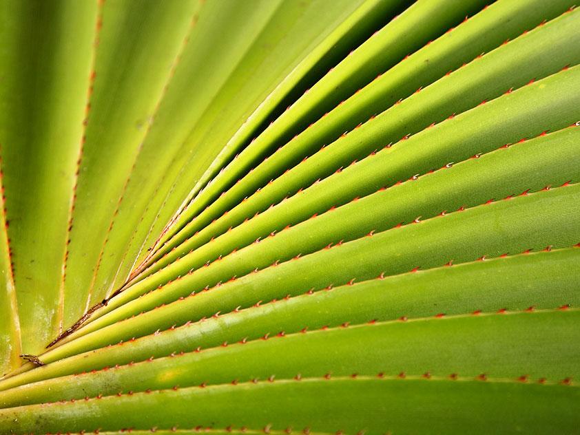Панданус Вейча, или Винтовая пальма - Pandanus veitchii, панданус фото