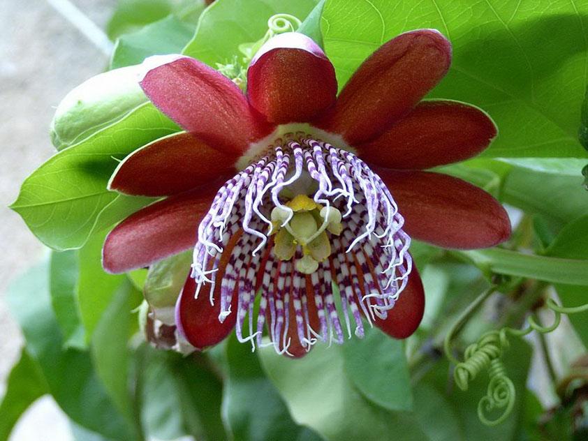 Пассифлора крылатая - Passiflora alata. Пассифлора фото.