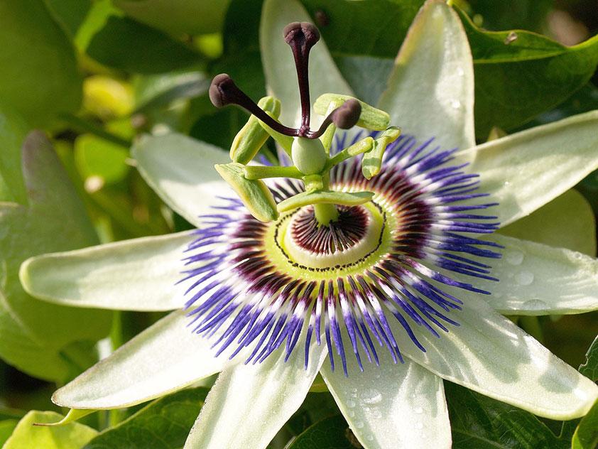 Пассифлора голубая - Passiflora caerulea. Пассифлора фото.