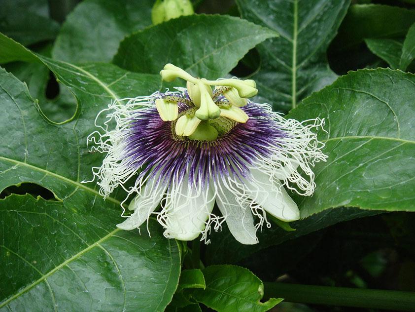 Пассифлора съедобная - Passiflora edulis. Пассифлора фото.